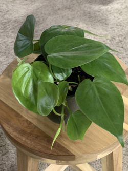 Philodendron Condatrum (Real!) Thumbnail