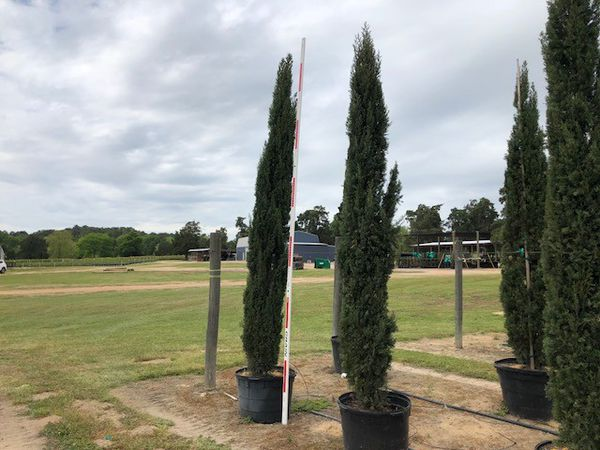 Italian Cypress Trees 30 8 Ft Height For Sale In Houston