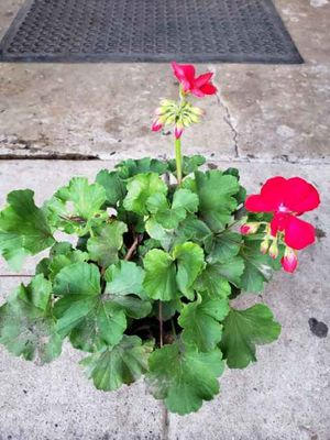 Red Geranium for Sale in Fresno, CA