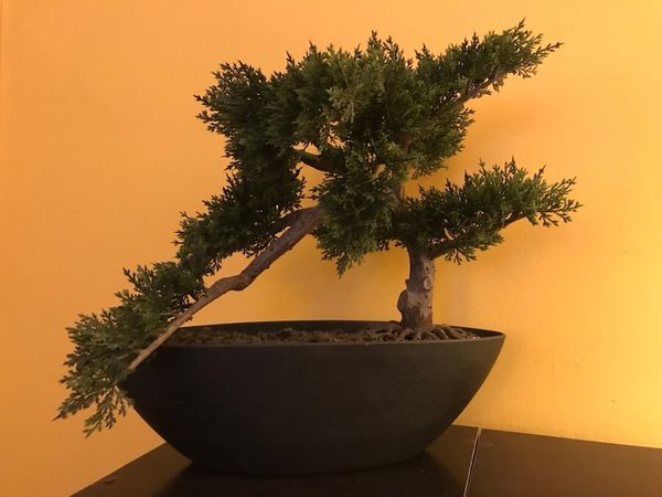 Bonsai Tree Raleigh Nc Bonsai Tree