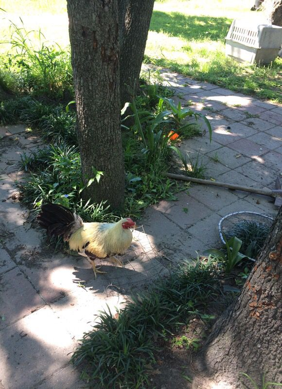 Frost grey gamefowl for sale for Sale in Houston, TX - OfferUp