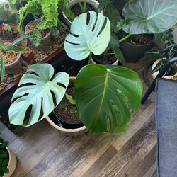House Plants For Sale/trade Thumbnail