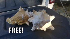 2x Conch Shells -FREE! for Sale in Holladay, UT
