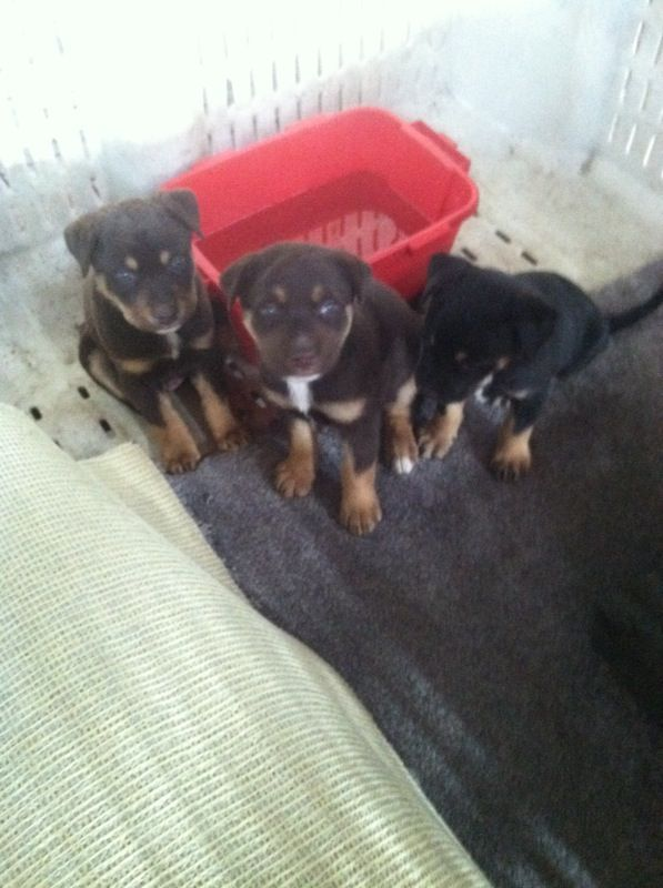 Puppies Free To A Good Home For Sale In Phoenix Az Offerup