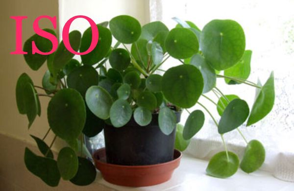 Iso Pilea Peperomioides Aka Chinese Money Plant