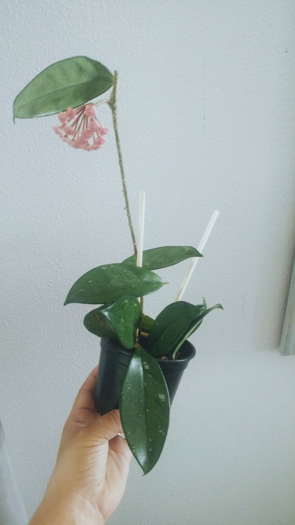 Hoya Carnosa House Plant With Bloom For Sale In Salem Or Offerup