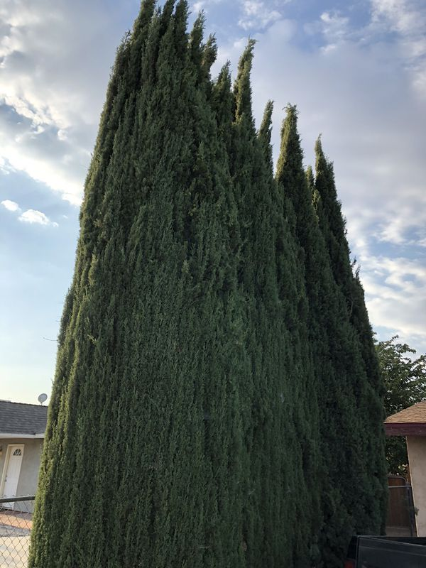 Free Free This Pine Tree You Have To Pull It Out For Sale