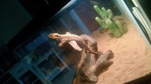 Bearded dragon for Sale in Mount Airy, MD