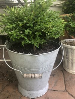 Planter Bucket With Baby Gem Boxwood Topiary  Thumbnail