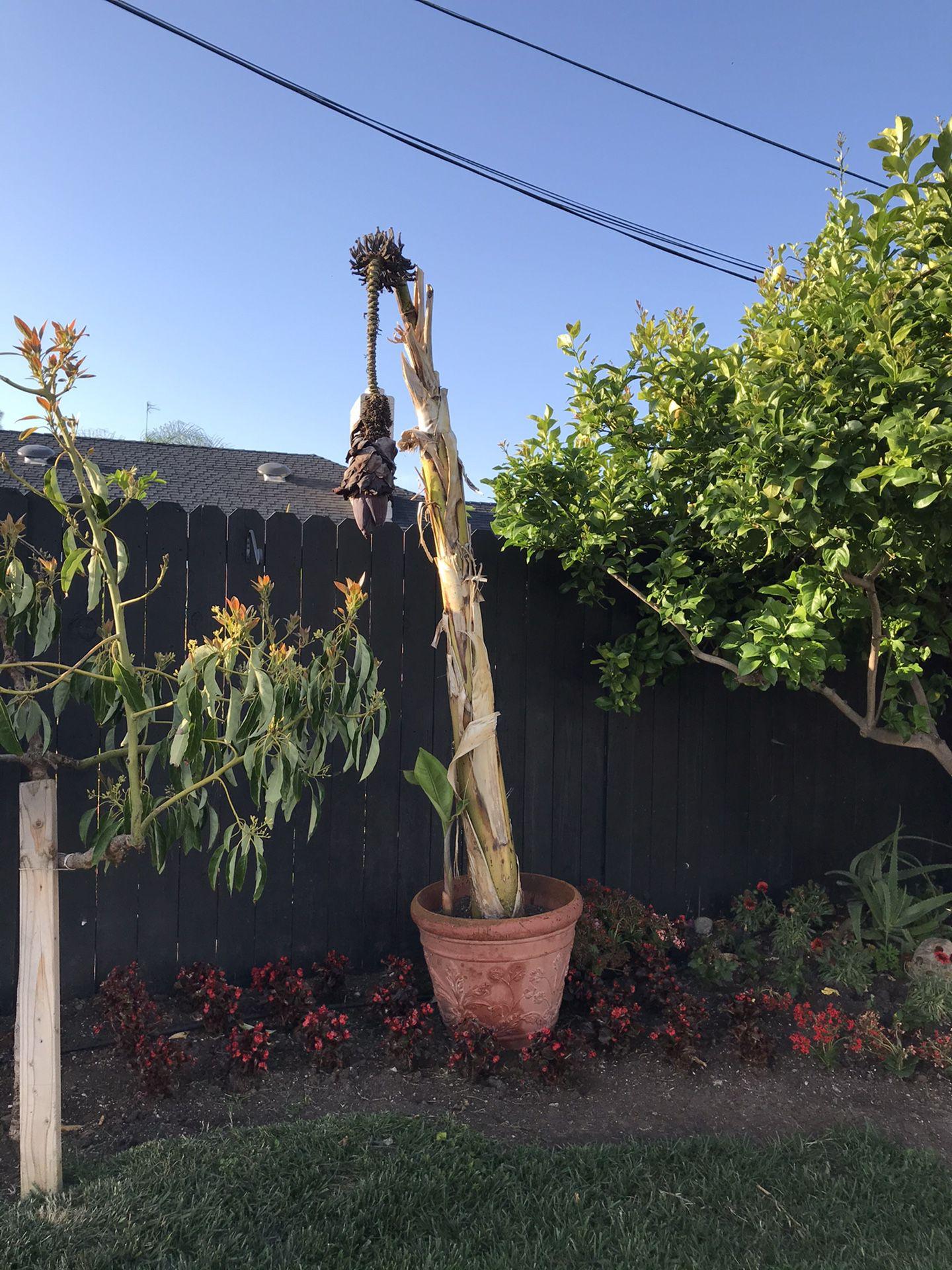 Banana tree and ginger