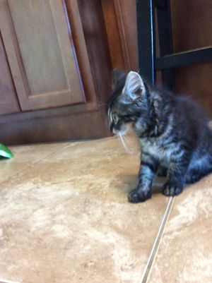 Kitten for Sale in Deltona, FL