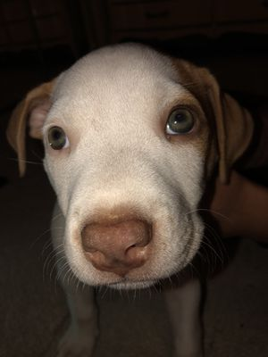 Baby Pittbull for Sale in Martinsburg, WV