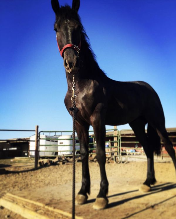 Black Friesian horse for Sale in Morgan Hill, CA - OfferUp