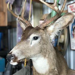 Taxidermy Deer  Thumbnail