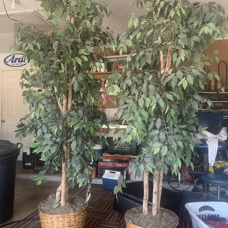 7 Ft Ficus Trees