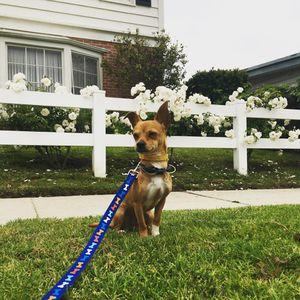 CUTE 1 year chihuahua🐕 for Sale in Los Angeles, CA