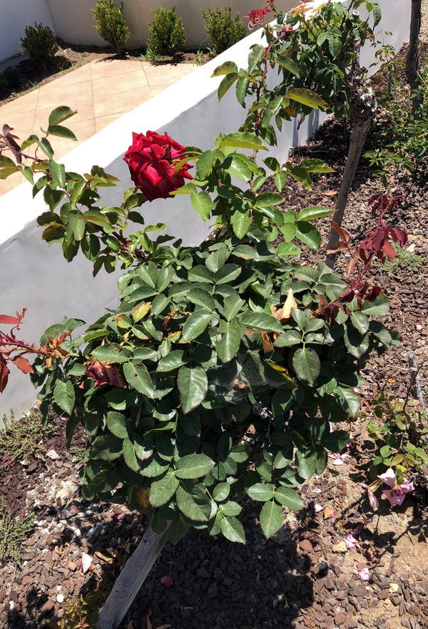 Beautiful Rose bushes for sale! (Home & Garden) in Placentia, CA ...