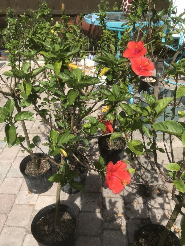 Hibiscus Trees For Sale In North Miami Fl Offerup