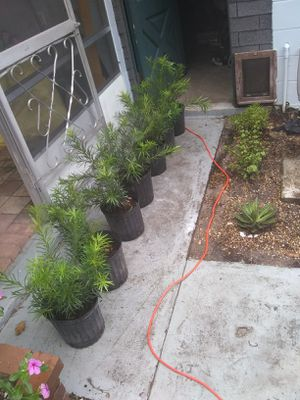 3 gallon podocarpus hedge plants delivered and planted for Sale in Orlando, FL