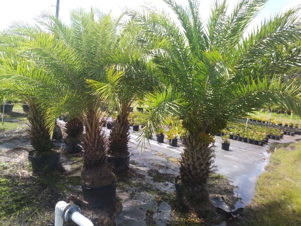Palm Trees Delivered And Planted 10 Foot Tall For Sale In