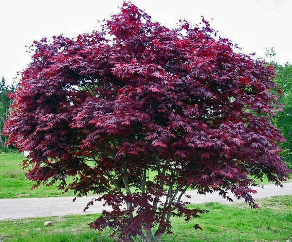 Purple Ghost Japanese Maple Trees For Sale In Puyallup Wa Offerup