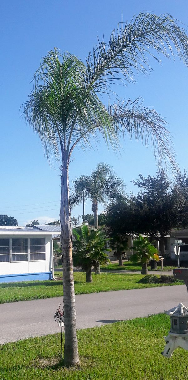 Palm Tree For Sale In Port St Lucie Fl Offerup