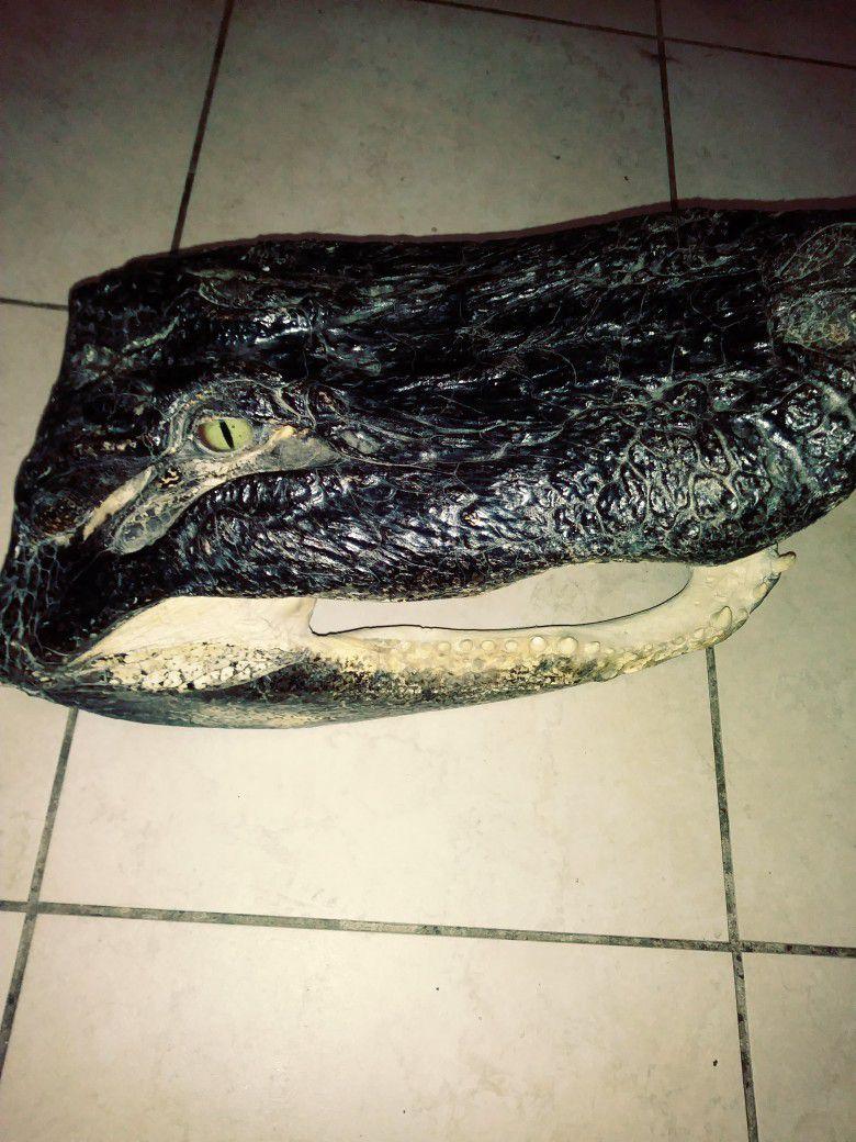 20 Inch Authentic Taxidermy Alligator Head