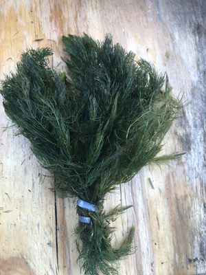 Live Aquarium Plants - Hornwort - Coontail for Sale in Miami, FL