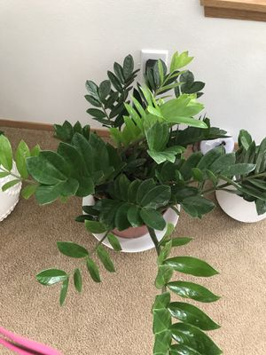 Large Zz plant for Sale in Tacoma, WA