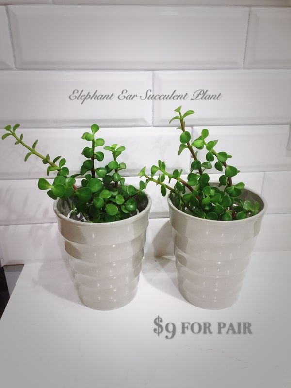 Pair Of Elephant Ear Succulent Plant 9 For Sale In West Hollywood