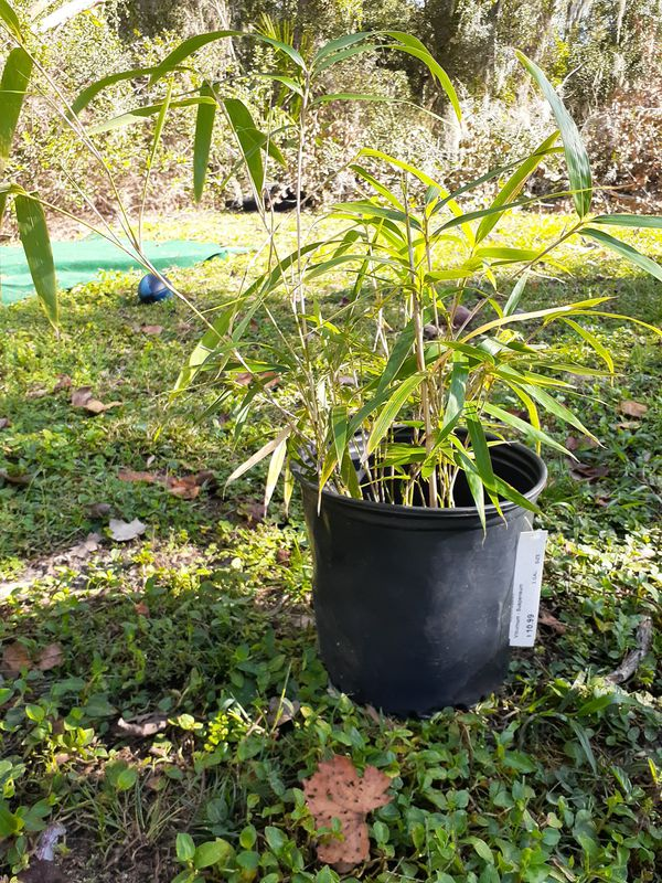 Bamboo For Sale And Other Plants For Sale In Jacksonville