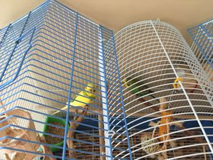 Parakeets and cage for Sale in Arbutus, MD