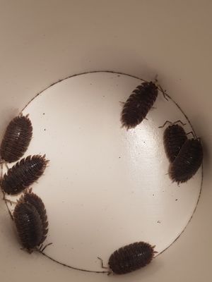 Giant canyon isopods (porcellio dilatatus) for Sale in Salt Lake City, UT