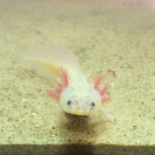 Juvenile Axolotls For Sale! For Sale In East Lansing, MI