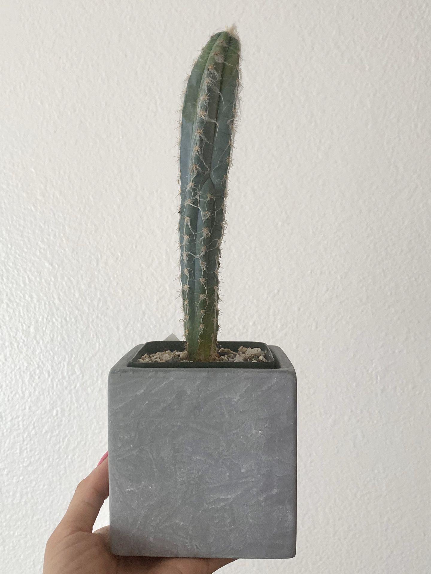 pilocereus glaucescens blue cactus rare!