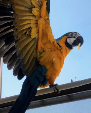 Macaw/Guacamayo for Sale in Orlando, FL