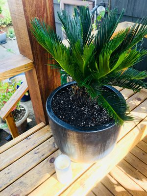 Live outdoor (or indoor) Sago Palm plant in a beautiful ceramic planter flower pot—firm price for Sale in Seattle, WA