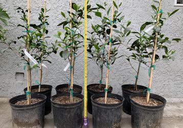 Green Tea Trees, beautiful and  healthy trees  Thumbnail