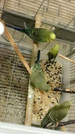 Bring cage and take beautiful budgies birds for Sale in Manassas, VA