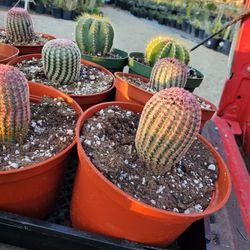 Rainbow Cactus  Thumbnail