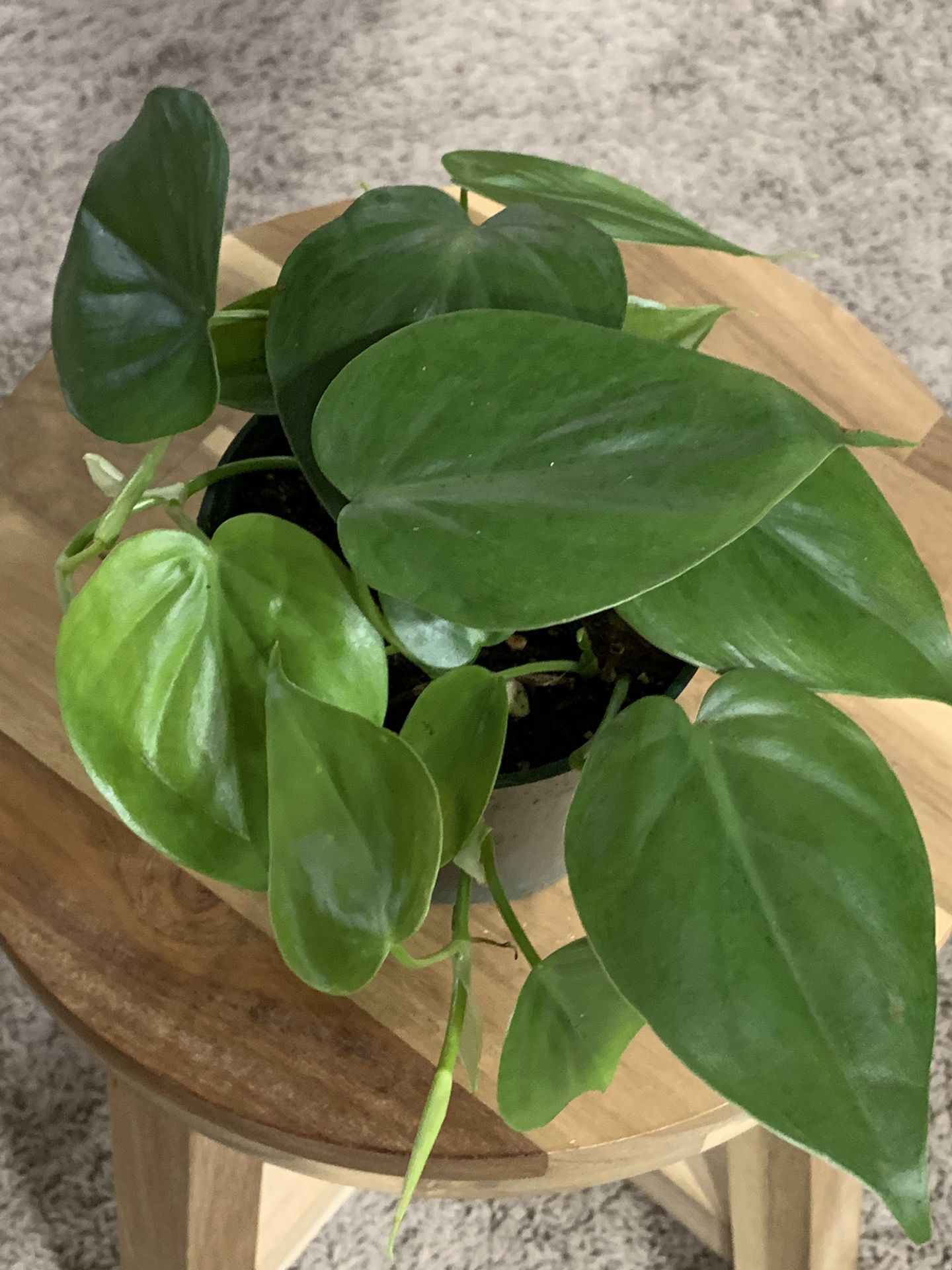 Philodendron Condatrum (Real!)