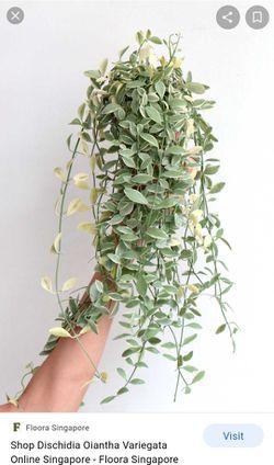 Rare Varigated Dischidia Oiantha Plant 8in Pot Thumbnail
