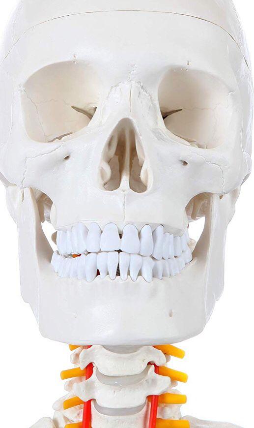 Axis Scientific Life Size Skeleton Model | 5' 6