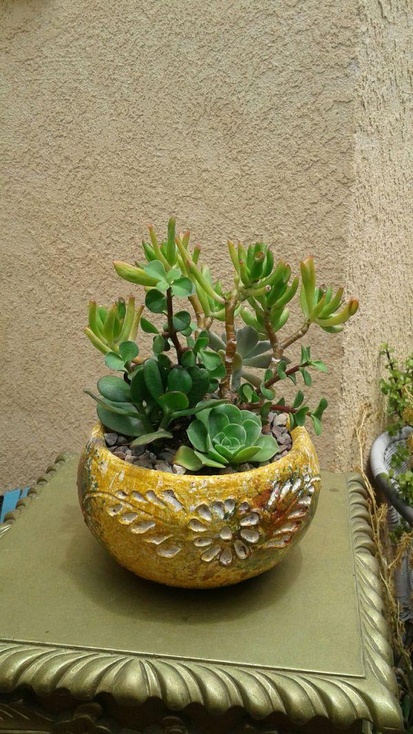 Multiple Succulent Plants Pot 15 For Sale In Buena Park Ca Offerup