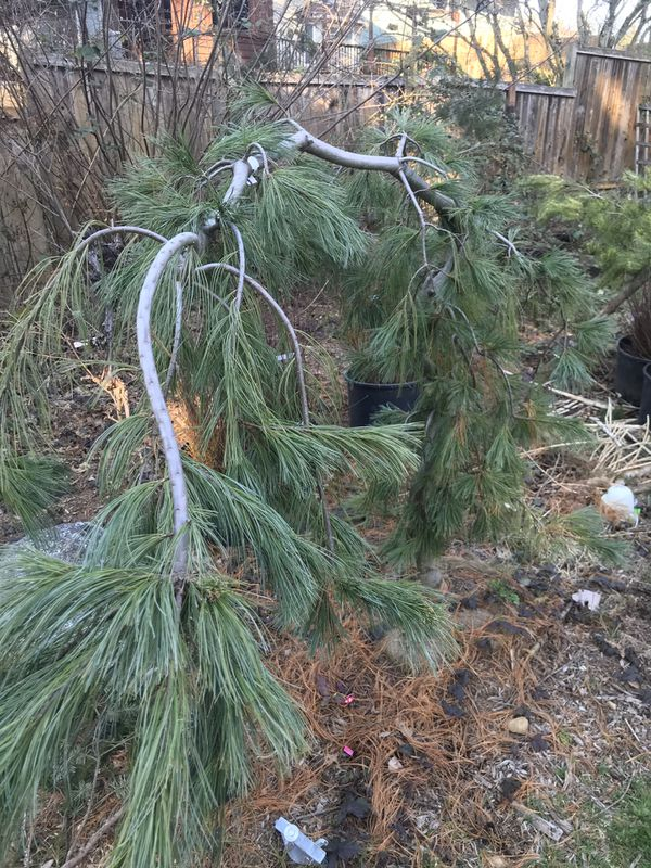 Angel Falls Weeping White Pine Trees For Sale In Puyallup Wa Offerup